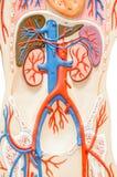 Modello umano sintetico del torso con gli organi Fotografia Stock