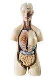 Modello umano sintetico del torso con gli organi Fotografia Stock Libera da Diritti