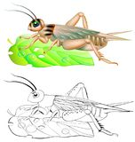 Modello variopinto ed in bianco e nero per colorare Illustrazione del cricket Foglio di lavoro per i bambini e gli adulti illustrazione vettoriale