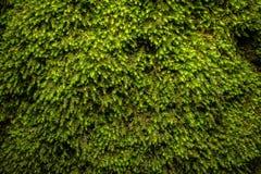 Modello verde del muschio, struttura, fondo Primo piano, macro Fotografia Stock