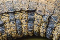 Modello vivo della coda del coccodrillo dal corpo vivente per fondo Fotografie Stock Libere da Diritti