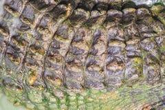 Modello vivo della coda del coccodrillo dal corpo vivente per fondo Fotografia Stock