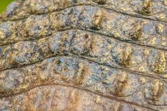 Modello vivo della pelle del coccodrillo dal corpo vivente per fondo Immagini Stock