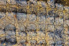 Modello vivo della pelle del coccodrillo dal corpo vivente per fondo Immagine Stock Libera da Diritti