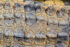 Modello vivo della pelle del coccodrillo dal corpo vivente per fondo Fotografie Stock