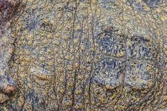 Modello vivo della pelle del coccodrillo dal corpo vivente per fondo Fotografia Stock Libera da Diritti