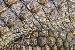 Modello vivo della pelle del coccodrillo dal corpo vivente per fondo Immagini Stock Libere da Diritti