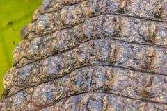 Modello vivo della pelle del coccodrillo dal corpo vivente per fondo Fotografia Stock