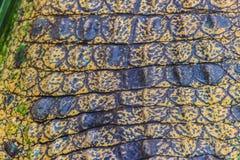 Modello vivo della pelle del coccodrillo dal corpo vivente per fondo Fotografie Stock Libere da Diritti