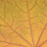 Modelo amarillo de oro caido de la textura de la hoja de arce, fondo del extracto del herbario del vintage del grunge de la caída Imágenes de archivo libres de regalías