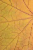 Modelo amarillo de oro caido de la textura de la hoja de arce, fondo del extracto del herbario del vintage del grunge de la caída Fotografía de archivo libre de regalías