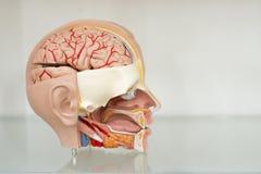 Modelo anatômico de uma cabeça humana em um corte imagem de stock