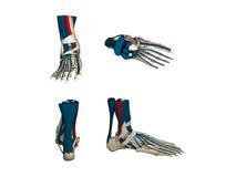 Modelo anatómico tridimensional del pie humano Imagen de archivo libre de regalías