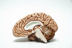 Modelo artificial do cérebro humano fotos de stock