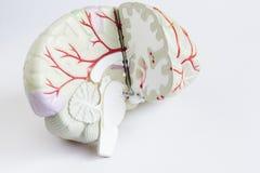 Modelo artificial do cérebro humano no fundo branco imagem de stock