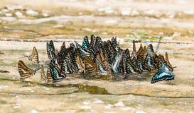 Modelo ascendente cercano de la mariposa Fotos de archivo libres de regalías