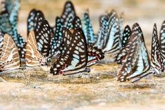 Modelo ascendente cercano de la mariposa Imagen de archivo