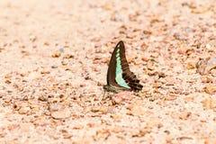 Modelo ascendente cercano de la mariposa Imagenes de archivo