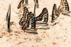 Modelo ascendente cercano de la mariposa Foto de archivo libre de regalías