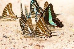 Modelo ascendente cercano de la mariposa Fotografía de archivo libre de regalías