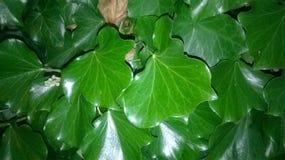 Modelo con Ivy Leaves verde oscuro grande - hélice de Hedera Imágenes de archivo libres de regalías