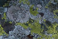 Modelo con los liquenes en una superficie de la roca Fotografía de archivo