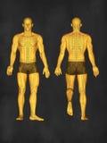 Modelo da acupuntura, ilustração 3D Foto de Stock Royalty Free