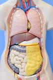 Modelo da anatomia dos órgãos internos do corpo humano Foto de Stock