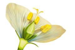 Modelo da flor com estames e pistilos no branco Fotografia de Stock