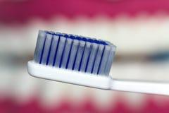 Modelo da maxila com dentes humanos Fotos de Stock