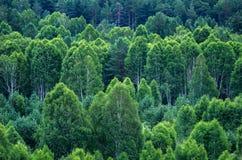 Modelo de capas de los árboles forestales, árboles de hoja perenne en las montañas Fotos de archivo