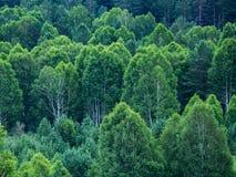 Modelo de capas de los árboles forestales, árboles de hoja perenne en las montañas Foto de archivo