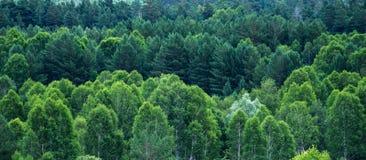Modelo de capas de los árboles forestales, árboles de hoja perenne en las montañas Imagenes de archivo
