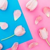 Modelo de flores de los tulipanes en fondo azul y rosado Visi?n superior imagenes de archivo