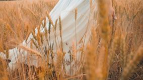 Modelo de forma positivo do tamanho no vídeo de movimento lento que anda no trigo do campo a mulher gorda na natureza na grama do vídeos de arquivo