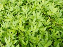 Modelo de hierbas verdes como fondo Imágenes de archivo libres de regalías