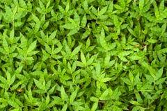 Modelo de hierbas verdes como fondo Imagen de archivo libre de regalías