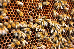 Modelo de la abeja Foto de archivo libre de regalías