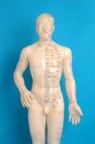 Modelo de la acupuntura Fotografía de archivo libre de regalías