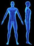 modelo de la anatomía 3d Imagen de archivo