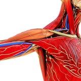 Modelo de la anatomía del cuerpo Fotografía de archivo