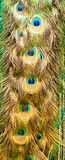 Modelo de la cola del ` s del pavo real Imagenes de archivo