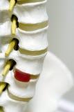 Modelo de la espina dorsal Imagenes de archivo