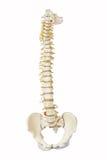 Modelo de la espina dorsal humana Fotografía de archivo libre de regalías