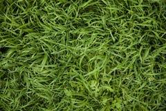 Modelo de la hierba Foto de archivo libre de regalías