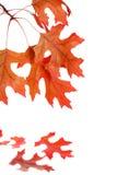 Modelo de la hoja del árbol de roble del otoño Fotos de archivo