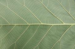 Modelo de la hoja verde Fotos de archivo
