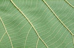 Modelo de la hoja verde Foto de archivo