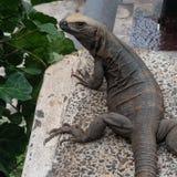 Modelo de la iguana fotos de archivo