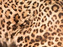 Modelo de la pantera Fotografía de archivo